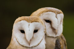 couple of Barn Owls or Common Barn Owls Royalty Free Stock Photos