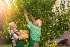 Couple with basket picking apples. Old men and women outdoor. Useful gardening tips Royalty Free Stock Photo