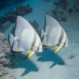 Couple of Batfish Stock Images