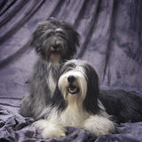 A couple of bearded collie Stock Photography