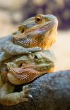 Couple of bearded dragons Royalty Free Stock Images