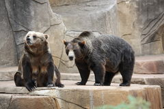 A Couple of Bears Stock Photos
