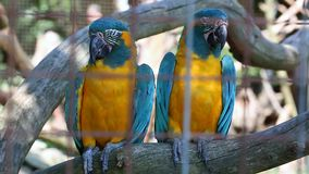 Couple of Beautiful Blue And Yellow Macaw Parrots. Close up of Blue And Yellow Macaw Couple Perched on a Branch stock footage