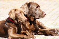 A couple chocolate Labradors laying in the yard royalty free stock image