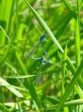 Couple of beautiful damselflies mating on grass Stock Photo