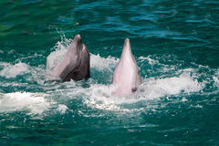 Couple of beautiful dolphins frolic in water Royalty Free Stock Image