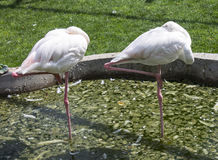 Couple of beautiful flamingos are sleeping in the lake. Park taigan Stock Images
