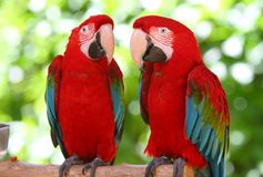 A couple of beautiful macaws royalty free stock images