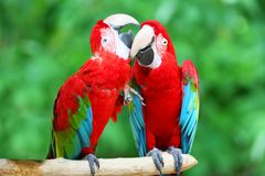 A couple of beautiful macaws Royalty Free Stock Photos