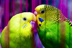 Couple of beautiful parrot Stock Photos