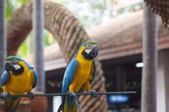 Couple of beautiful parrots. Sit and look at people royalty free stock images