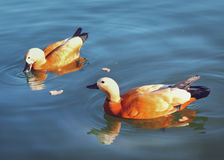 Couple of beautiful ruddy shelduck eat bread in big city park po Stock Image