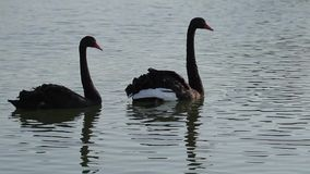 Couple of beautiful swans. Two black swans swimming in a pond. Couple of beautiful swans stock video footage