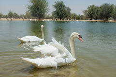 Couple of beautiful white swans swimming together in the lake. Couple of beautiful amazing white swans swimming together in the lake Royalty Free Stock Images