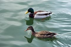 A couple of beautiful wild ducks royalty free stock image