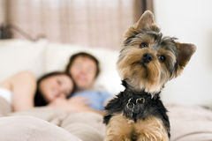 Couple in bed. Happy couple laying in bed with their dog - focus on dog royalty free stock image