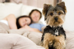 Couple in bed. Happy couple laying in bed with their dog - focus on dog Royalty Free Stock Photography