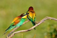 Couple of bee eaters on leafless branch Stock Photos