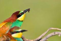 Couple of bee-eaters on leafless branch Stock Image