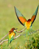Couple of bee-eaters on leafless branch Royalty Free Stock Images