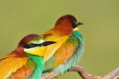 Couple of bee-eaters on leafless branch Stock Photo