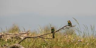 A couple of Bee Eaters Royalty Free Stock Photos