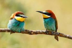 Couple of bee-eaters Royalty Free Stock Photography