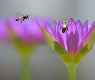 Couple of bees in nature among the lilies. Stock Photos