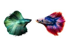 Couple betta fighting fish top form preparing to fight isolated a on white background Stock Image