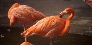 Couple of orange flamingos. A couple of big flamingos with orange colored feathers resting in a zoo in mexico, pair of birds with some feathers in pink standing royalty free stock images