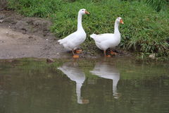 A couple of big white gooses. A couple of gooses take a walk by the river Stock Photos