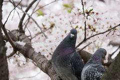 Couple bird and cherry blossoms Stock Image