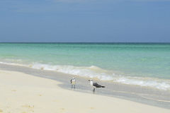 Couple of birds on the beach of Cayo Santa Maria (Cuba). Couple of birds on the beach of Cayo Santa Maria (Villa Clara, Cuba), characterised by white sand and Stock Photos