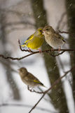 Couple of birds  greenfinches a female and  male sit on  mountain ash branch against the background  the falling Stock Images