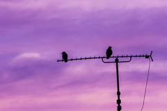Couple of birds sitting on antenna Stock Images
