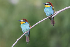 Couple of birds sitting on a branch inclined Stock Photos