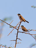 A couple of the Black-caped Social Weaver. A pair of Black-caped Social Weavers (Pseudonigrita cabanisi) perches on a dry acacia branch at Tsavo National Park in Royalty Free Stock Photography