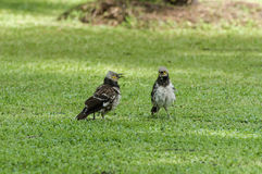 Couple Black-collared starling bird talking in grass field. Couple of Black-collared starling bird is singing in grass field Royalty Free Stock Photos