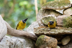 Couple of Black-crested bulbul bird in black yellow on stones wi Stock Photography