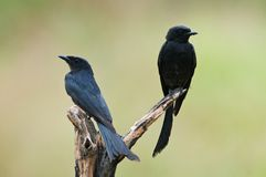 Couple of Black Drongo Royalty Free Stock Photos