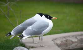 Couple of black head seagulls Royalty Free Stock Image