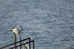 Couple of Black-headed Gull Chroicocephalus Ridibundus. A.k.a. Laughing Gull with its red bill and legs in winter plumage perche on pier railing in soft sunset Royalty Free Stock Photos