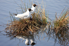A couple of black-headed gulls. Upon their nest in a lake of De Groote Peel National Park, a peat bog area renowned for its diversity of birds royalty free stock photo