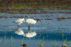Couple of Black-headed ibis Royalty Free Stock Images