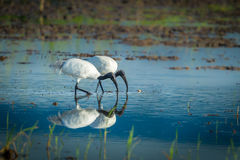 Couple of Black-headed ibis Stock Photography