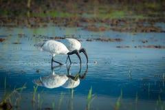 Couple of Black-headed ibis Stock Photography