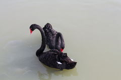 Couple black swan royalty free stock image