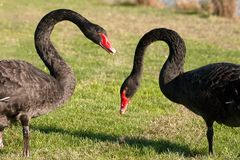 Couple of Black Swan Stock Photos