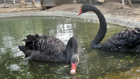 Couple of Black swan Stock Photo