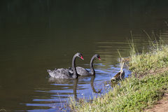 Couple of black swans Stock Photo